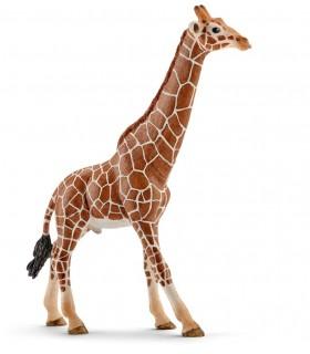 Girafa, Mascul